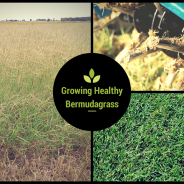 3 Steps to Growing Healthy Bermudagrass