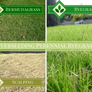 Overseeding with Perennial Ryegrass