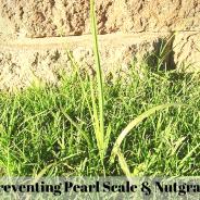 Preventing Pearl Scale & Nutgrass