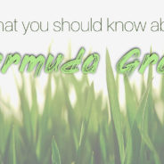 Everything You Need to Know About Bermuda Grass