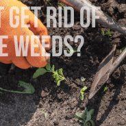 Pesky Winter Weeds in Arizona